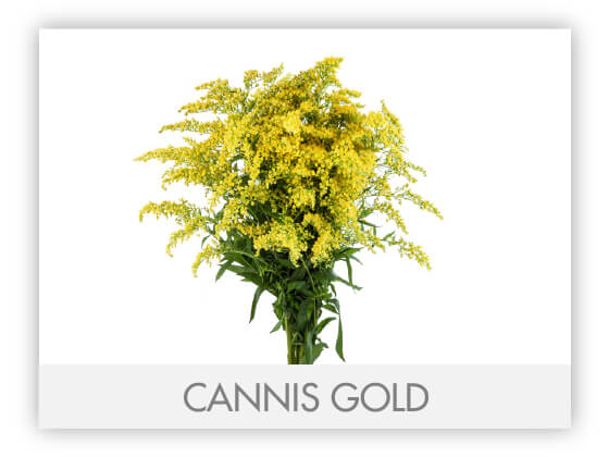 CANNIS GOLD -100