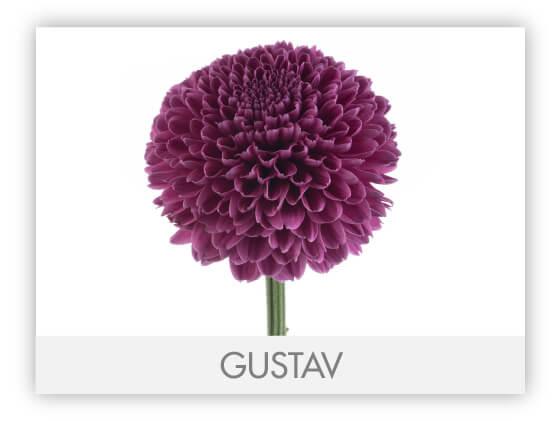 GUSTAV-100