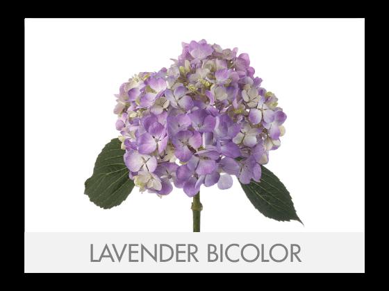 LAVENDER BICOLOR