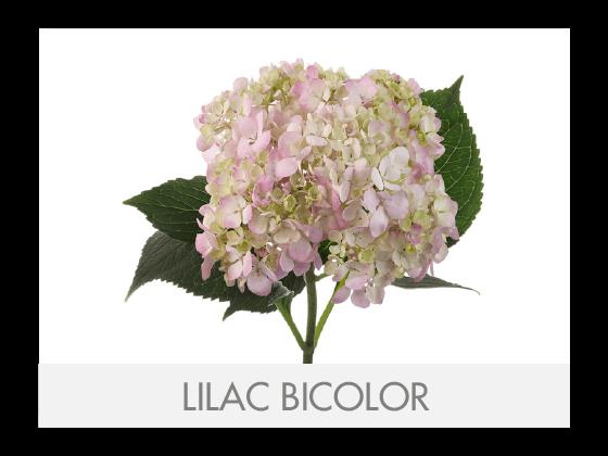 LILAC BICOLOR