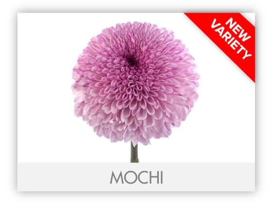 MOCHI-100