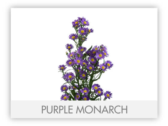 PURPLE MONARCH -100