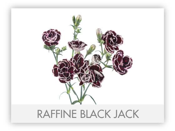 RAFFINE BLACK JACK -100