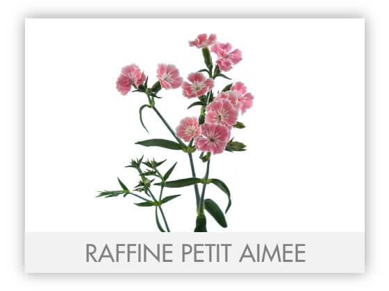 RAFFINE PETIT AIMEE -100