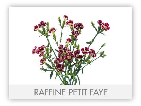 RAFFINE PETIT FAYE -100