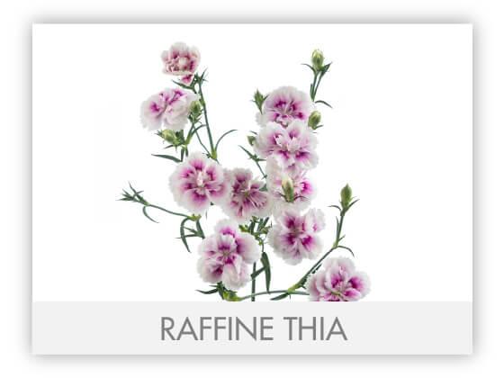 RAFFINE THIA -100