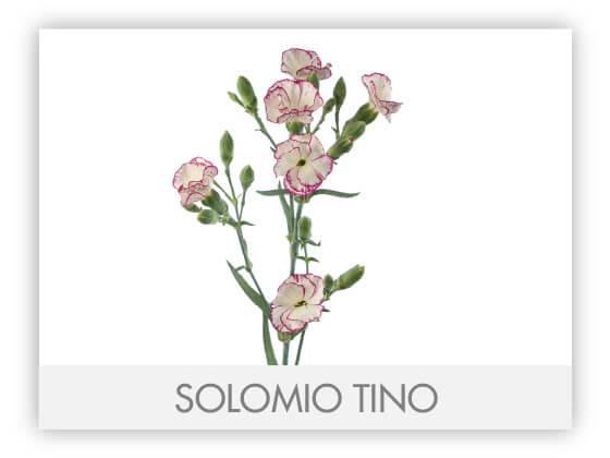 SOLOMIO TINO -100