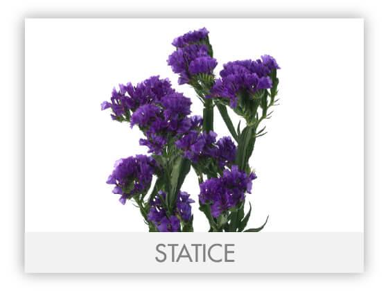 STATICE-100