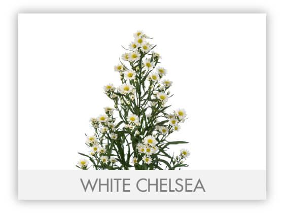 WHITE CHELSEA