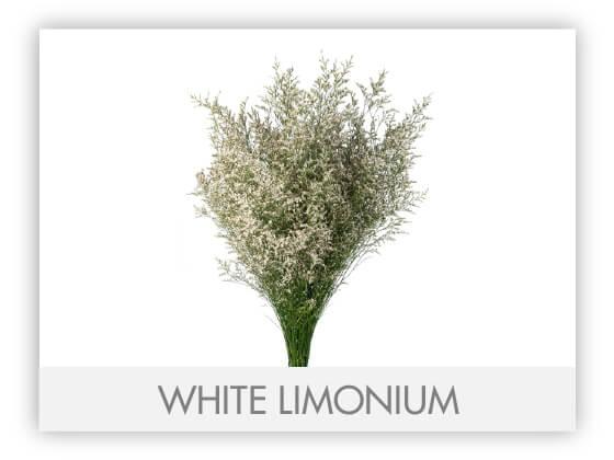 WHITE LIMONIUM -100