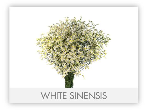 WHITE SINENSIS -100