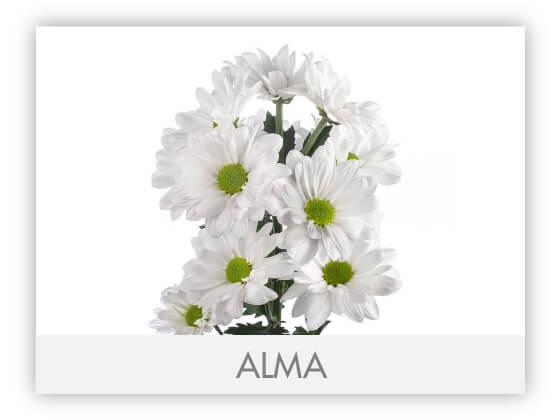 ALMA100
