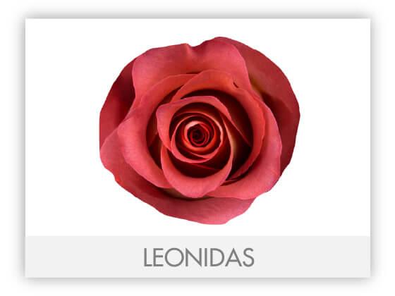 LEONIDAS10