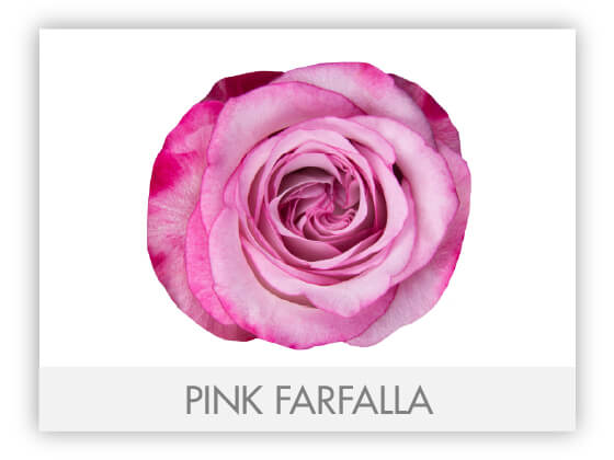 PINK FARFALLA 10