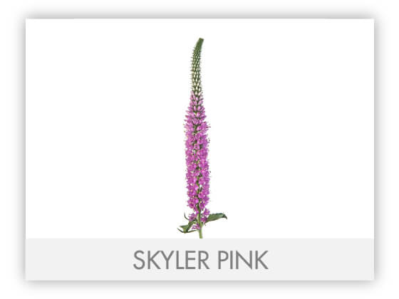 SKYLER PINK