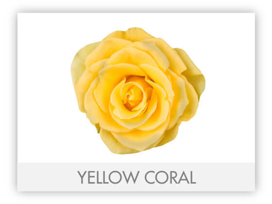 YELLOW CORAL 10