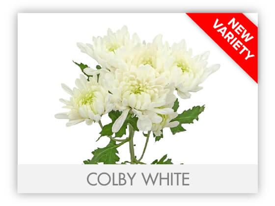 COLBY WHITEGLLRY