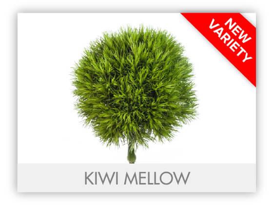 KIWI MELLOWGLLRY