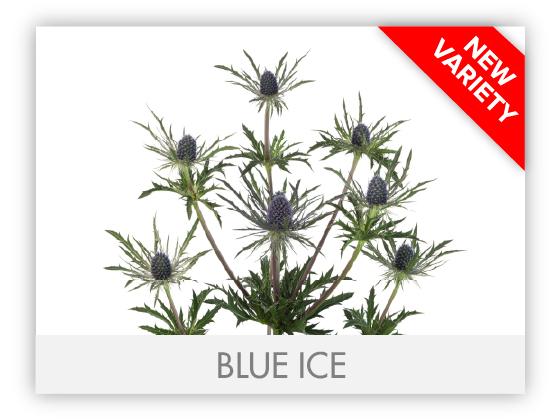NEW VARIETY BLUE ICE