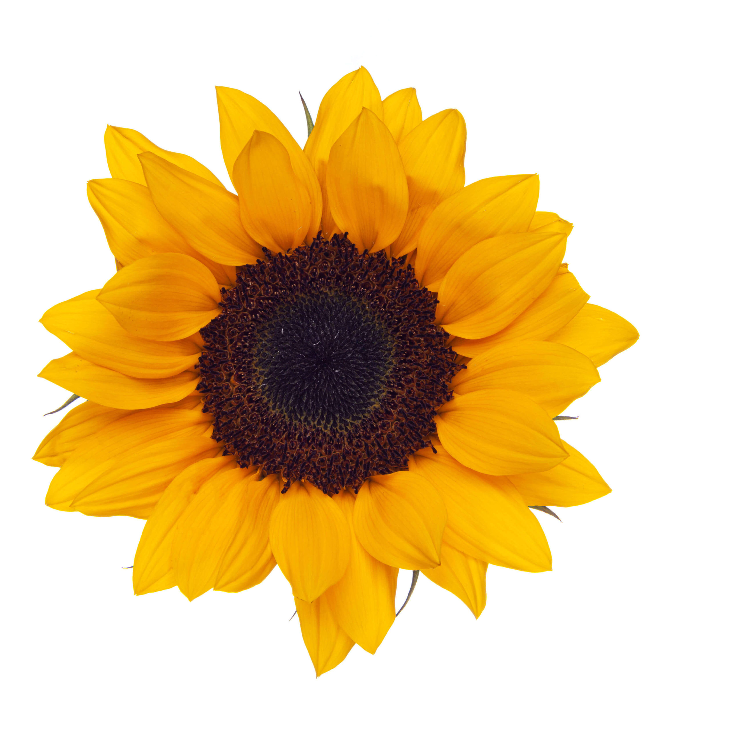 Sunflower Sunbright | The Queen's Flowers