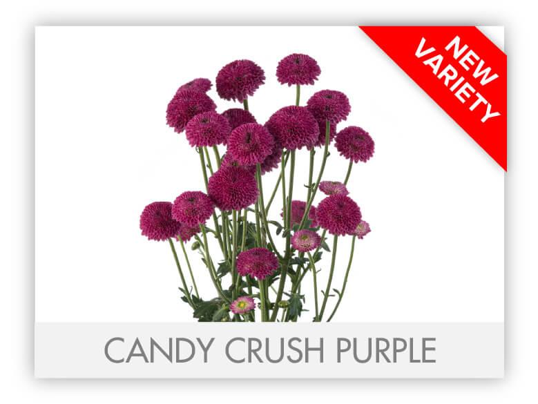 CANDY CRUSH PURPLE _GALLERY_N