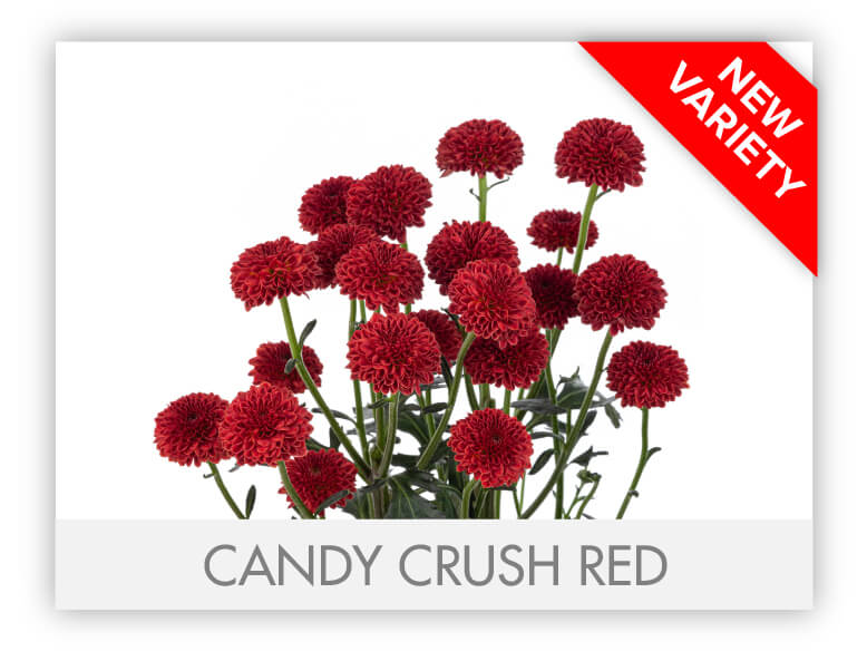 CANDY CRUSH RED _GALLERY_N