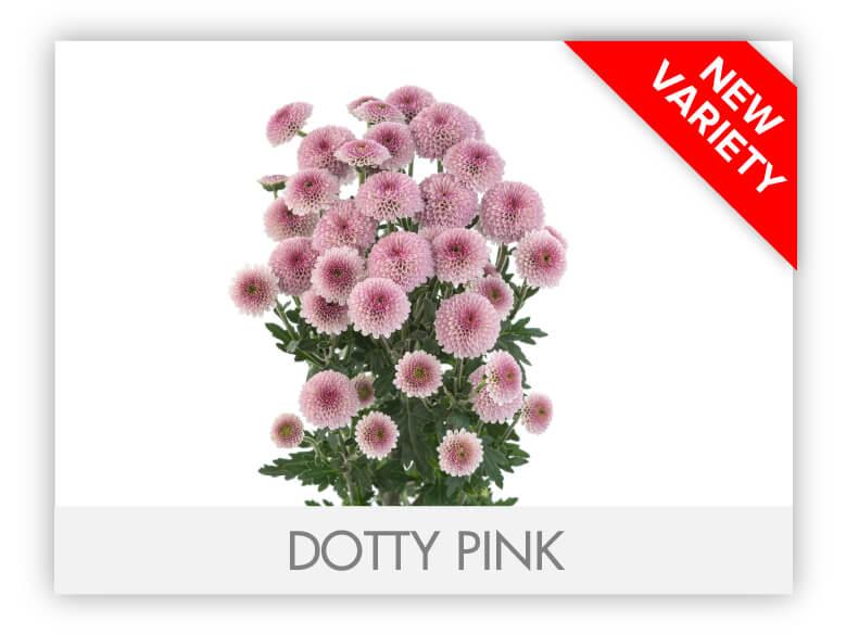 DOTTY PINK _GALLERY_N