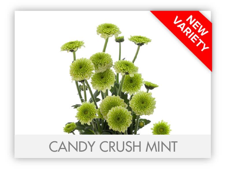 gllry_Candy Crush Mint