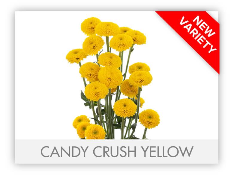 gllry_Candy Crush Yellow