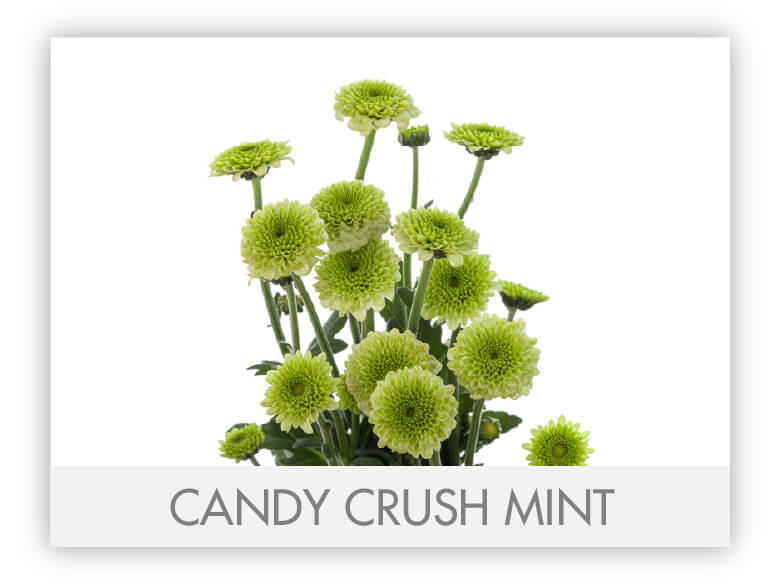Candy Crush Mint
