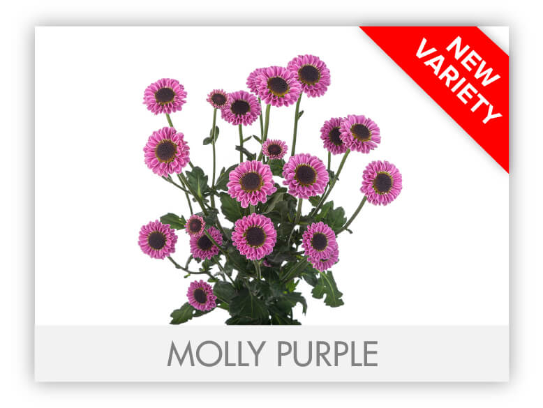 MOLLY PURPLE