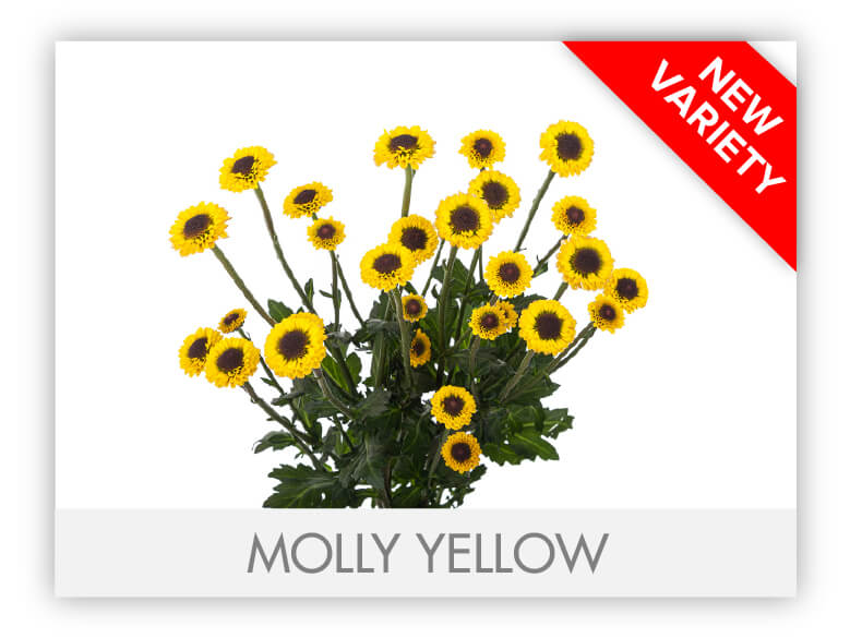 MOLLY YELLOW
