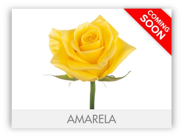 AMARELA GALLERY-2