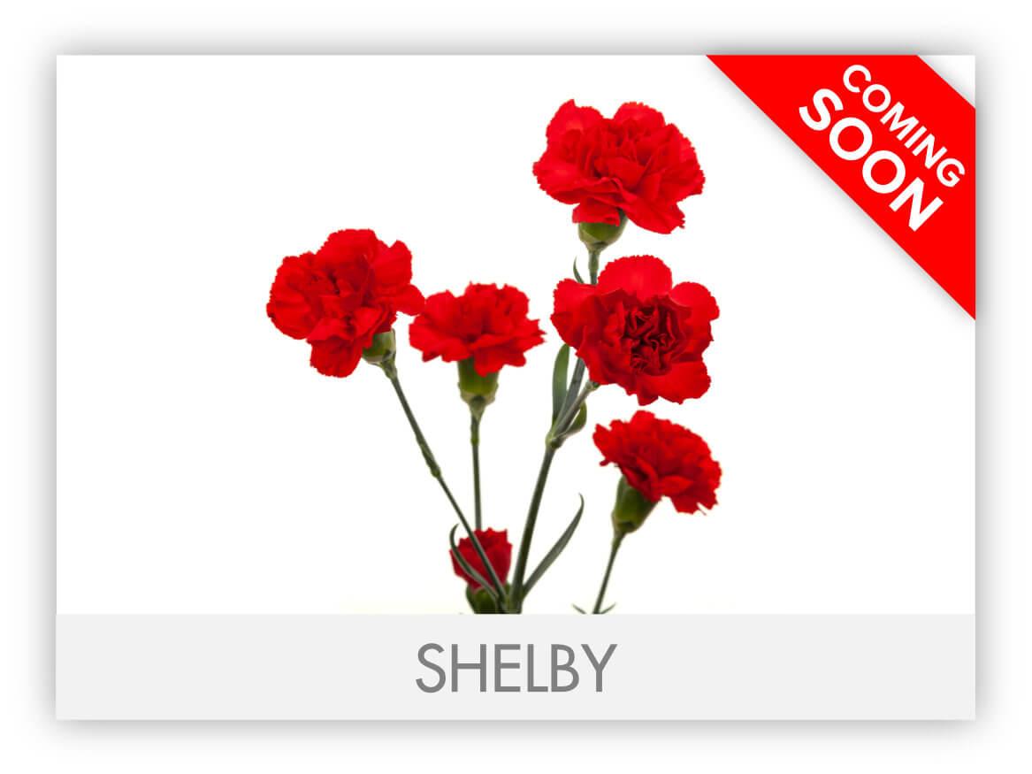 SHELBY_GLRY-2