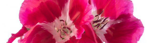 Dark Pink Godetia