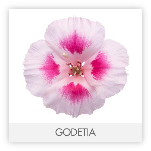 GODETIA 10