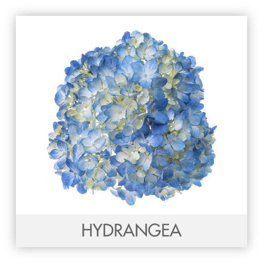 HYDRANGEA10