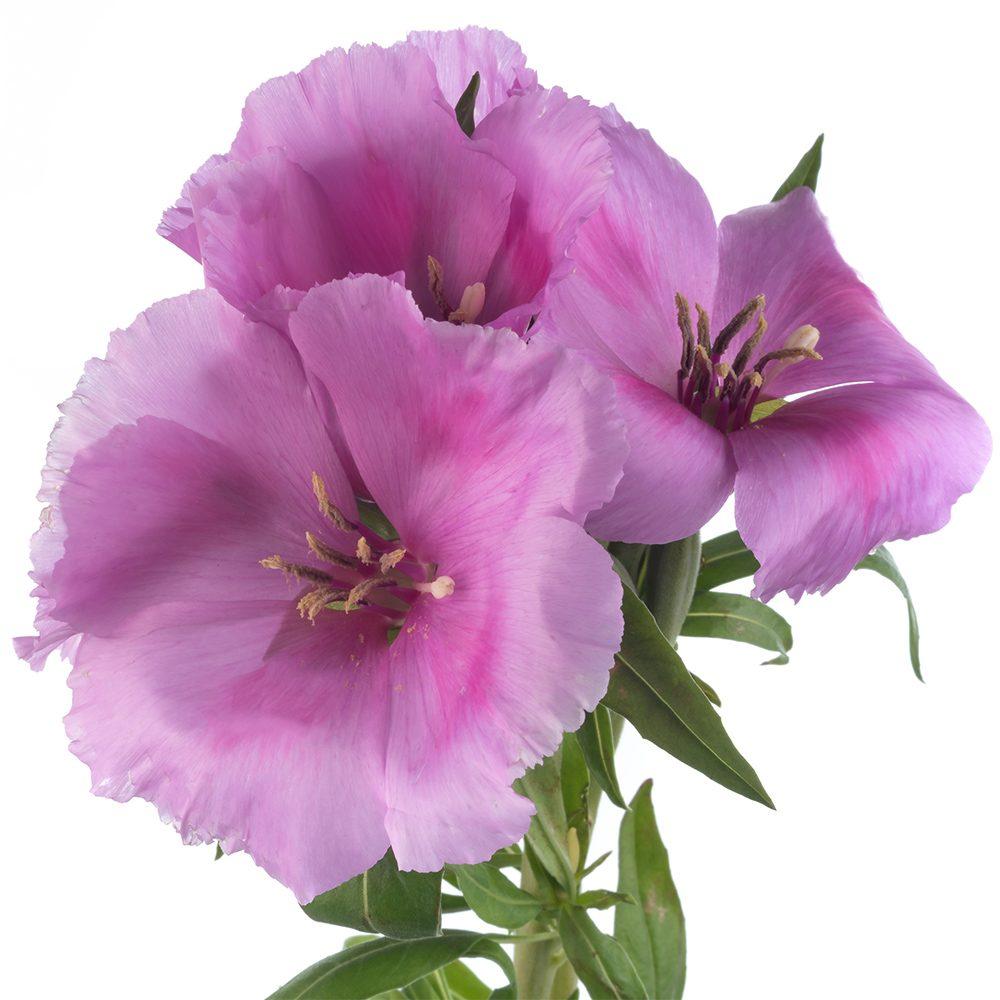 Lavender Godetia