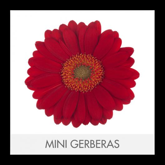 MINI GERBERAS2T_GLLERY
