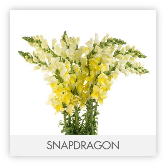 SNAPDRAGON10